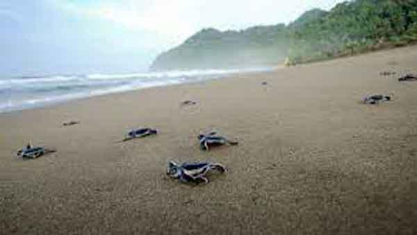 Penyu-di-Pantai-Ngagelan